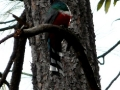 mountain-trogon