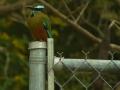 fence-post-motmot