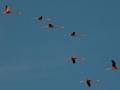 flamingos-flying