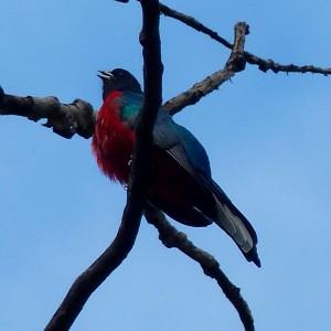 Eared Quetzal1