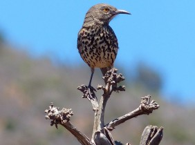 Gray Thrasher on top of Agave