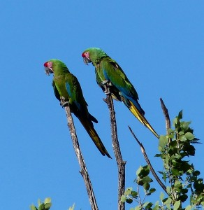 Military Macaws outside of Yecora
