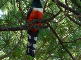 Mountain Trogon outside of Madera