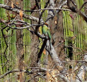 It took a while but we did finally see the Motmot!
