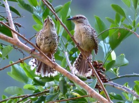 Spotted Wrens1