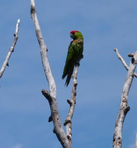 A thick-billed Parrot