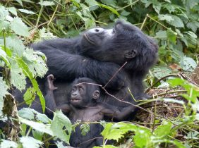 mama gorilla and 3 mth baby