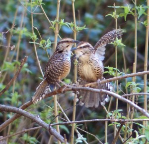 Spotted Wrens in love